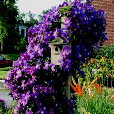 The  Jackmanni clematis was massive as it wound around a birdhouse. Plant in full sun but keep the roots in shade as they like to stay cool. Pruning after flowering will  allow the clematis to rebloom into the fall.