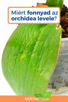Az #orchidea leveleinek fonnyadása legtöbb esetben a kiszáradást jelzik. A növény nem kap elég vizet, vagy nem kepés felvenni a vizet, mivel a gyökerek valami miatt sérültek. A jó hír az, hogy a fonnyadt leveleket meg lehet menteni, ha időben kezeljük a problémát. Ha a gyökerek pusztulása miatt fonnyadnak a levelek, akkor már nincs annyira egyszerű dolgunk. Ebben a cikkben elmondom hogyan mentsük meg az orchideát ha fonnyadnak a levelei. Dream Garden, Outdoor Gardens, Watermelon, Fruit, Vegetables, Gardening, Plant, Lawn And Garden, Vegetable Recipes