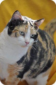 Media, PA - Domestic Shorthair. Meet Tanya, a cat for adoption. http://www.adoptapet.com/pet/12701976-media-pennsylvania-cat