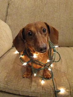 Cute dog wrapped in lights