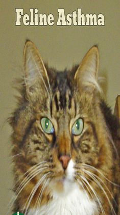 Asthmatic Cats on Cat Guides Coconut Oil Cats, What Is Asthma, Cat Health Care, Cigarette Smoke, Sick Cat, Cat Signs, Lungs, Health Facts, Breathe