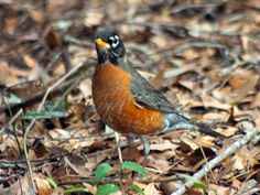 11 Best north carolina backyard birds images in 2012 ...