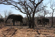 #Landscapes  #Animals #KrugerNationalPark #Kruger #KrugerNP #SouthAfrica #Safari #Travel #Animallove #VisitSouthAfrica #Elephants