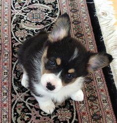 Weeee Corgi puppy