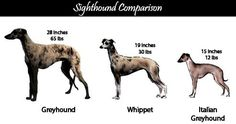 Google Image Result for http://screamincutie.files.wordpress.com/2007/12/greyhound-comparison.jpg