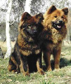 Eurasiers