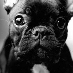 Close up of a French Bulldog Puppy❤