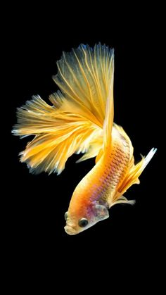 If you want to know how to take care of Betta fish, this article will help you get started and get rid of some of the most common misconceptions that people have about these fish. Pretty Fish, Beautiful Fish, Beautiful Pictures, Animals And Pets, Cute Animals, Betta Fish Types, Yellow Fish, Fish Wallpaper, Animal Wallpaper