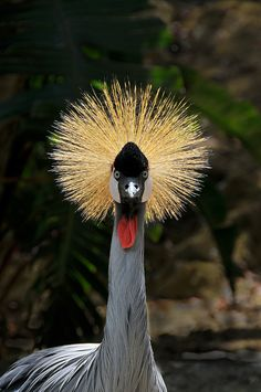 The crowned crane is found in open grassland, farmland and marshy areas and has a golden crest ornamenting its black an white face. Zimbabwe: The Bradt Guide www.bradtguides.com