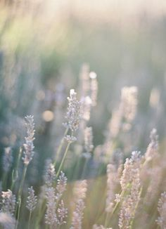 lovely lavender and beautiful light | photographer Jen Huang | jenhuangblog.com