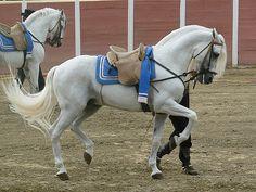 Andalusian horse, cartujano by wakedeadman on DeviantArt Most Beautiful Animals, Beautiful Horses, Lippizaner, Andalusian Horse, Friesian Horse, Arabian Horses, Horse Facts, Dressage Horses, Draft Horses