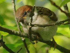 150610s子スズメ1 Birds 2, Cute Birds, Animals And Pets, Cute Animals, Merle, Sparrow Bird, Little Birdie, Cute Little Things, Bird Drawings