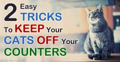 Are you one of those cat owners who allow their pet cats to roam in the kitchen counters? Here are reasons why you should think about allowing them again. http://healthypets.mercola.com/sites/healthypets/archive/2015/01/24/keep-cats-off-kitchen-counters.aspx
