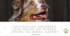 The Work-Oriented Australian Shepherd Dogs And Kids Aussie Shepherd, Australian Shepherd Puppies, New Mexican, Herding Dogs, Dog Activities, Dogs And Kids, Dog Barking, Kawaii, Collie
