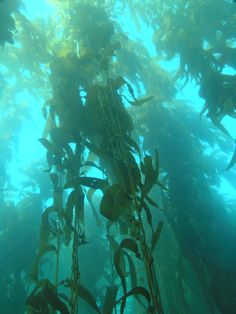 www.editionlocal.com >> kelp forrest diving♥ A month!