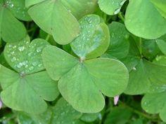 El trébol. Existen varios  tipos de tréboles, atendiendo al color de sus hojas o de sus flores.