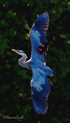 Great Blue-Heron with a male Red-Winged Blackbird (both in flight)