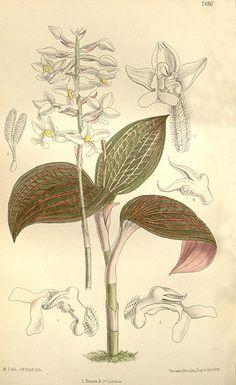 Ludisia discolor (as Haemaria dawsoniana) - Curtis' 122 (Ser. 3 no. 52) pl. 7486…