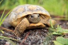 Florida Aims to Protect Gopher Tortoises with App | WUFT News April 8, 2014