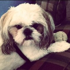 Precious Shih Tzu. I miss you Gizmo!