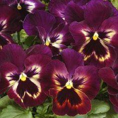 Pansy Matrix Sangria Экзотические Цветы, Фиолетовые Цветы, Белые Цветы, Сады, Ремесло, Рождество, Почвопокровные Растения, Цветоводство, Красивые Цветы