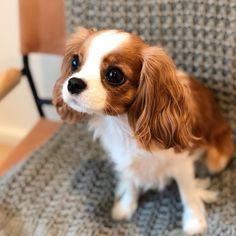 Eyes bright for the weekend!❤️ What's everyone up to this weekend? Cute Dogs And Puppies, I Love Dogs, Doggies, Cavalier King Charles Dog, Spaniel Puppies, Cute Little Animals, Funny Animals, Funny Dogs, Cute Babies