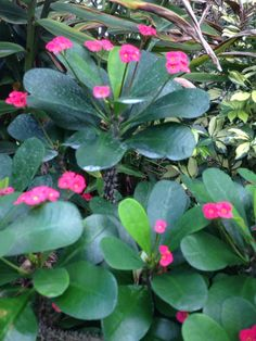 Another Crown Of Thorns (euphorbia milii): Previously described. Due to the high volume of photo identifications, we may not be able to answer all of your requests in as timely a manner as we would like, but we will do our best for you and hope you understand.