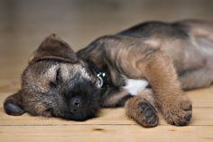 This beautiful Border Terrier is adorable and won't spread hair all over your house.