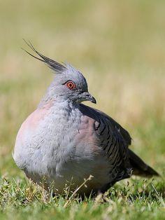 La paloma bronce crestada (Ocyphaps lophotes) Sólo hay dos especies de palomas…
