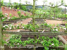 espalier apple tree at the end of raised beds