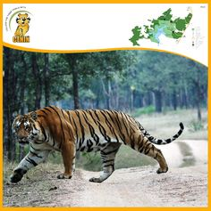 Pench Tiger Reserve – The land of Mowgli from The Jungle Book. Pench Tiger Reserve has a glorious mention in the most famous work of Rudyard Kipling 'The Jungle Book'! Wild Cat Species, Tiger Attack, Animals And Pets, Cute Animals, Tiger Walking, Tiger Tattoo, Tattoo Ink, Arm Tattoo, Monsters