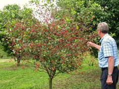 all about dwarf fruit trees starkbros planting growing within Grow and Care Ornamental Cherry Trees Tips to Grow and Care Ornamental Cherry Trees Dwarf Trees, Ornamental Cherry, Garden Trees, Landscape Trees, Trees And Shrubs, Fruit Garden, Trees To Plant, Growing Tree, Dwarf Fruit Trees