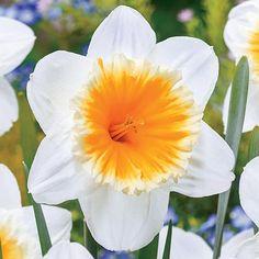 Slim Whitman Daffodil   P [d/-/-]