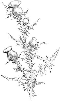 adorable Thistle Flowers Coloring Pages. See other coloring pages assortment for kid in our site. Protea Flower, Thistle Flower, Iris Flowers, Colorful Flowers, Scottish Thistle Tattoo, Scottish Tattoos, Cherry Blossom Flowers, Sunflower Flower, Flower Coloring Pages