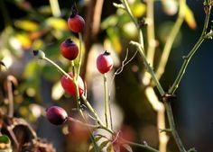 Plant: Rose hips, a possible functional food and nutraceutical........