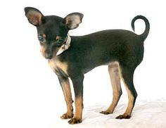 Prazsky Krysarik - The Dog Breeds Bible