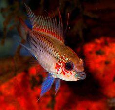 Saltwater Aquarium Fish, Freshwater Aquarium Fish, Beautiful Tropical Fish, Beautiful Fish, Colorful Animals, Colorful Fish, South American Cichlids, Cool Fish Tanks, Cichlid Fish
