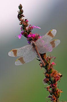 dragonfly dancing through the garden