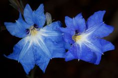 Blue Lechenaultia (Lechenaultia biloba) / Photo by Rob Neave Australian Wildflowers, Australian Flowers, African Plants, Nature Photography Tips, Wild Flowers, Plant Leaves, Texture, Illustration, Blue