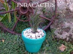 Suculenta en maceta de terracota pintada en color turquesa. VENDIDA