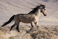 Herd stallion