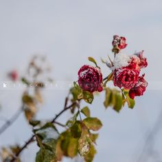 Photos capture the essence and winter freeze the time! Winter Roses by Shawna Lemay.  Creative imagery for creative minds. Stockiste.com  Download link: https://stockiste.com/display/winter-roses/21818  #Stockiste, #Photographer, #ShawnaLemay, #Photography, #ContentMarketing, #Storytelling, #StockPhotography, #Stockphoto, #Stockimage, #StockisteCreativeStock, #Roses, #Ice, #Winter, #Xmas, #Christmas, #Celebration, Winter Roses © Shawna Lemay