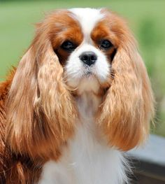 """""""Don't tell me, highlights?"""" #dogs #pets #CavalierKingCharlesSpaniels…"""