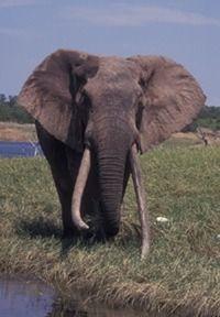 Safarious - The Chura Bull, Matusadona NP, 1991 / Chris Worden / Gallery Game Reserve, African Elephant, Zimbabwe, Elephants, Adventure Travel, South Africa, Birth, Ears, Count