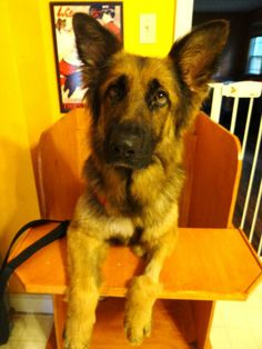 """GINA is a 3 year old German Shepherd with a """"Megaesophagus"""" which means that she can do anything a regular dog can do but she needs to be handfed, three times a day, sitting or standing upright in her """"Bailey chair"""". There are lots of dogs living..."""