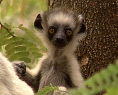 Amazing video of the worlds top 10 cutest and most endangered primates. Please share. Cinematographer Ross McLean.