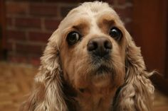 The ideal Cocker Spaniel diet? It's any good quality raw, organic or natural dog food, kibble, or tinned dog food, that is nutritionally balanced. Cocker Spaniel Breeds, American Cocker Spaniel, Pet Dogs, Dogs And Puppies, Dog Cat, Doggies, Weimaraner, Beagle, Tattoo L