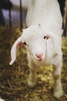 sweetie face... looks like a Savannah goat