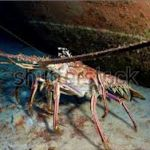 The vice Ministry of Aquaculture and Fisheries established a close season for lobster resource (Panulirus gracilis and Panulirus penicillatus), from January 16 to June 16, 2014. - See more at: http://aquaculturedirectory.co.uk/six-month-ban-set-for-lobster/#sthash.g8uFgRsL.dpuf