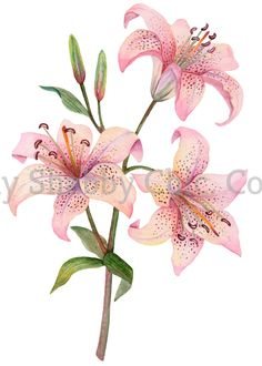 Lirio Tattoo, Lily Painting, Vinyl Sticker Paper, Paper Birds, Craft Stickers, Arte Floral, Pink Lily, Botanical Illustration, Watercolor Flowers